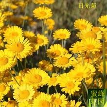 100 Pcs Daylight Jerusalem Artichoke Chrysanthemum Flower