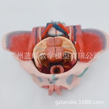 1:1 Life Size Female Pelvis Human Skeletal Model Woman Pelvis Pelvic Floor Muscle PVC Material Nerve Entrails Genital Model