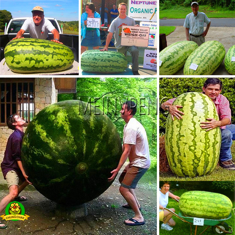 Hot Sale!50 Pieces Giant Watermelon Bonsai Fruit Garden Planting Watermelon Plantas NON-GMO Edible Fruits,#ENTUTG