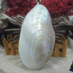 26-28cm grande concha natural coral pérola mexilhão molusco duplo-face seashell casa acessórios do tanque de peixes decoração do aquário novo