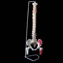 85 cm 1:1 Leben Größe Menschlichen Anatomie Wirbelsäule Modell Becken Femurs + Stand Schule Pädagogisches Medizinische Wissenschaft Anatomischen Lehre Modell