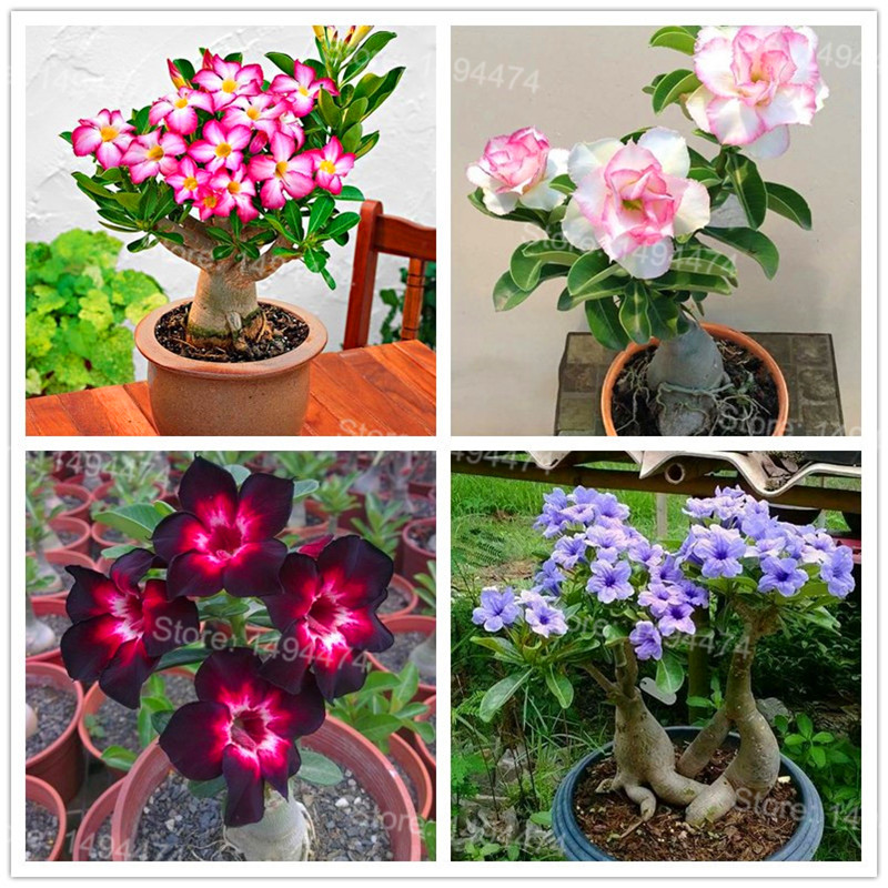 Genuine Desert Rose Plantas rare Adenium Obesum flower Plants 4 pcs Flower Bonsai floresling Air Purification for Home Garden fake rose flowers