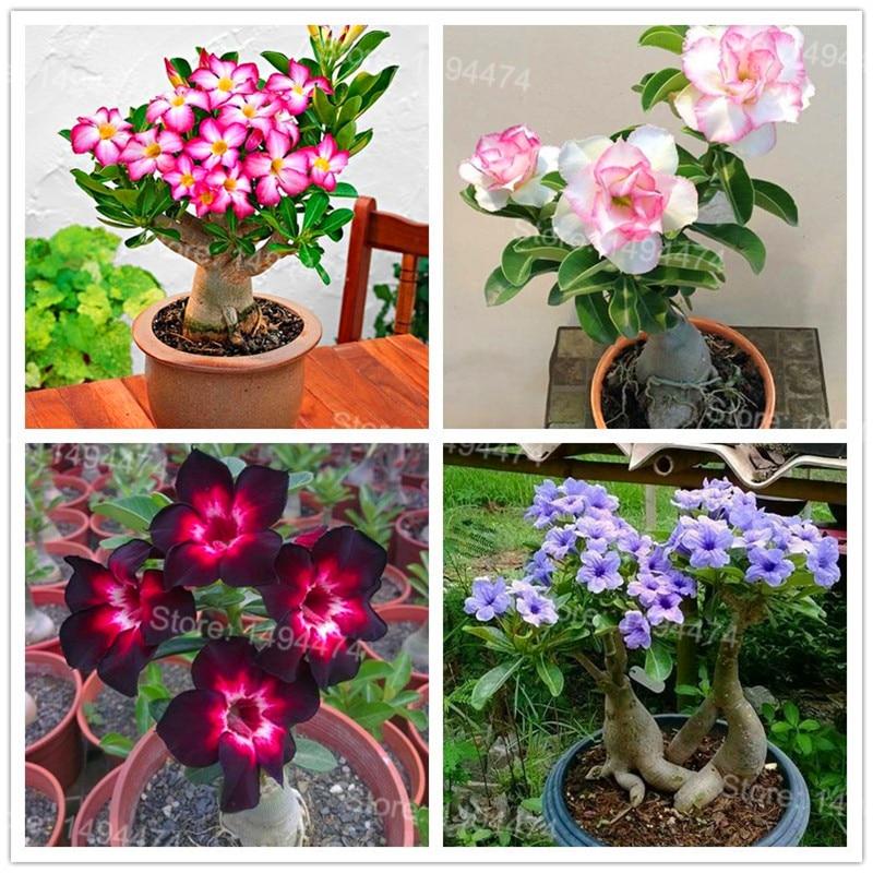 Genuine Desert Rose Plantas Rare Adenium Obesum Flower Plants 4 Pcs Flower Bonsai Floresling Air Purification For Home Garden