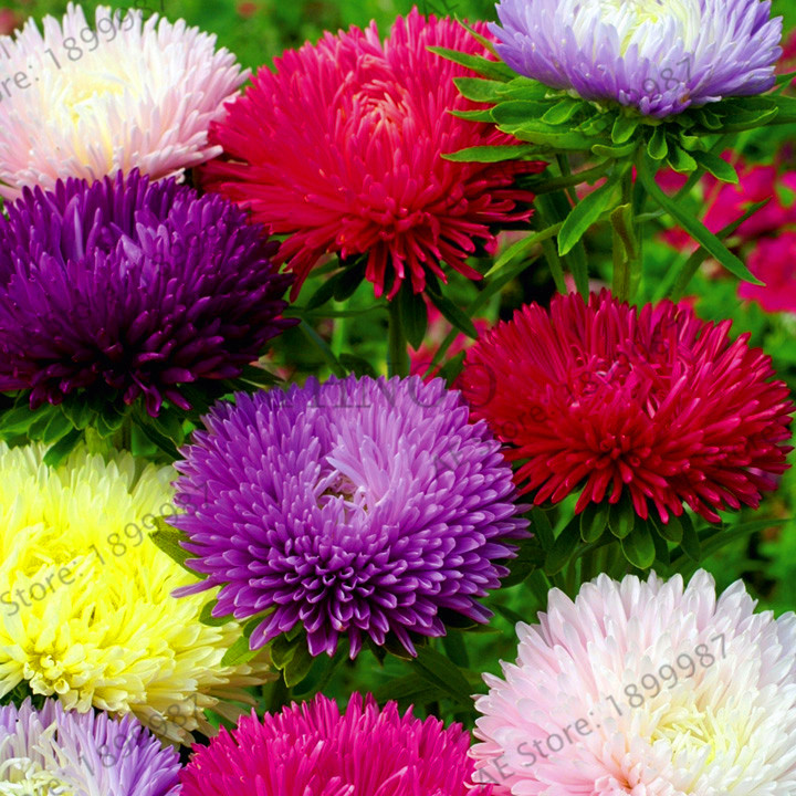 Hot Sale!Chinese Aster Bonsai (Callistephus)give You A Garden Full Of Bright Summer Big Flowers Free Shipping 200 Pcs/pack,#QJ3