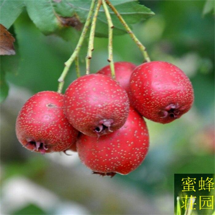 Боярышник бонсай фруктовые деревья около 50 шт.