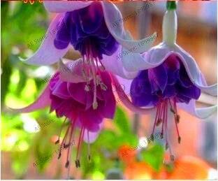 Большая Акция! Многоцветный фуксия сад фонарь цветок Комнатный бонсай Флорес Цветочный ЗАВОД, 50 шт./пакет, #1Q3N23
