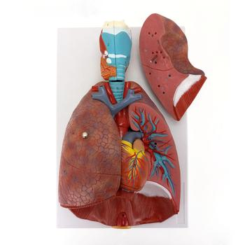 Human Respiratory System Model 7 parts Larynx Lungs Heart Natural Life Size Three Dimensional Teaching Resources