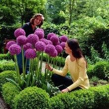 120 pcs Purple Giant Allium Giganteum Beautiful Flower bonsais Garden Plant the budding rate 95% rare flower for kid
