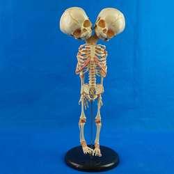 37 см человека новый двойной головкой Детские череп для изучения анатомии Скелет анатомический мозг Анатомия образование модель анатомичес...