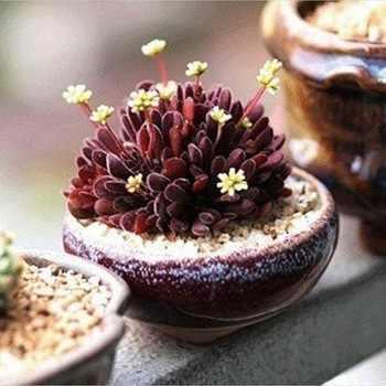 100 قطعة/الحزمة محرك ذبابة حلم الحلاقة bonsais نبات عصاري بونساي