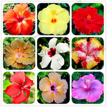 100pcs/bag Hibiscus flores,bonsai plant for home and garden,beautiful Ornamental flower,easy to plant(China)