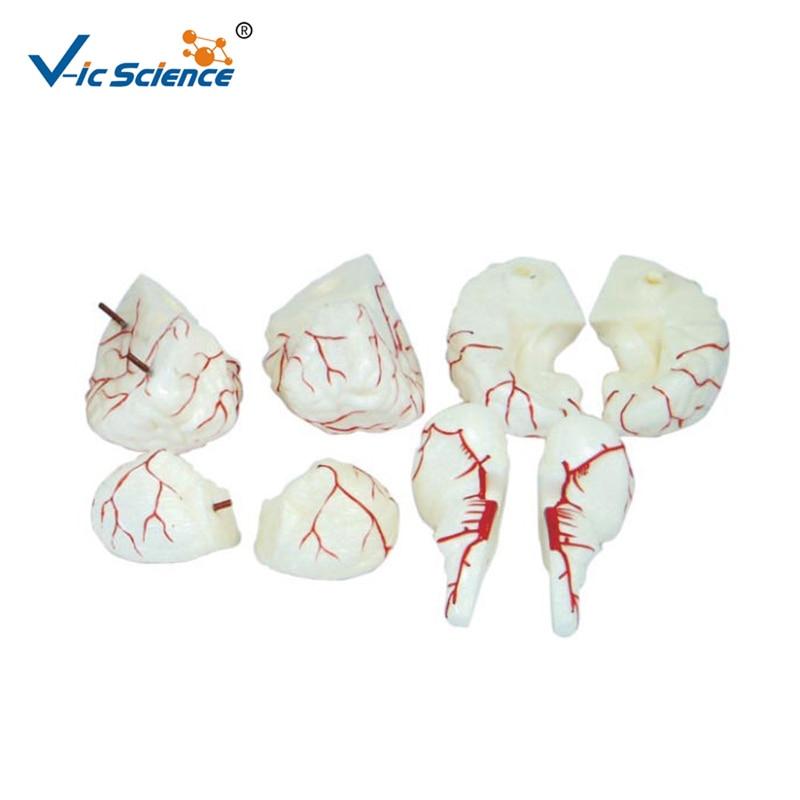 Life Size Brain Arteries Model for Medical StudyLife Size Brain Arteries Model for Medical Study