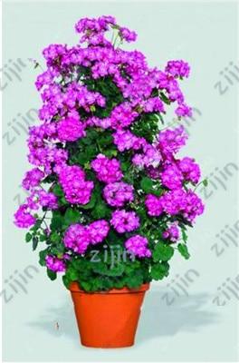 50pcs Bonsai climbing geranium Flower, Pelargonium Peltatum Geranium bonsai, courtyard & balcony outdoor plant for home garden