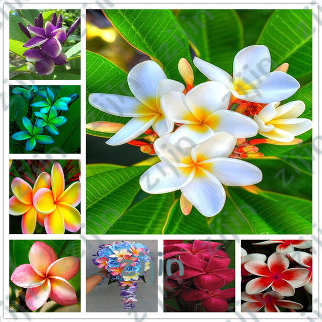 Bonsai 200 unids/bolsa Plumeria maceta Frangipani hawaiana Lei flor exótica rara Flor de huevo Color perfecto Diy jardín de casa plantación