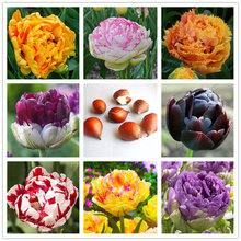 5pcs Rare Color Purple and White double Tulip Bulbs Bonsai Tulip Flower Home Garden Potted Plants Perennial Flower Bulbs(China)