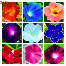 Buy Morning Glory Flowers And Get Free Shipping On Aliexpresscom