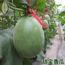 Sweet Treasure Cantaloupe bonsai 4 Seasons Melon Garden Balcony Potted Vegetable bonsais 10pcs