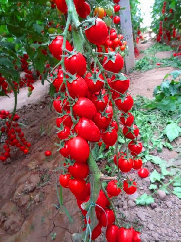 Big Promotion!100 - Greek Tomato Bonsai Heirloom Sweet Gardening Plantas Plants Non Gmo Vegetable Floresling For Home Garden Pla
