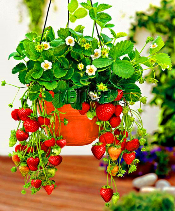 Sale!300 Climbing Red Strawberry Bonsai Very Big And Delicious ,Heirloom Vegetables And Fruit Plant Creeper Plantas For Home Ga