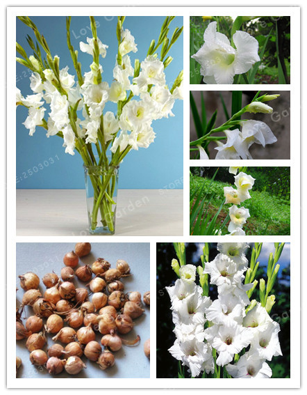 White Gladiolus Bulbs( Gladiolus Bonsai), DIY Aerobic Potted, Rare Gladiolus Bulbs,95% Germination-2 Bulbs