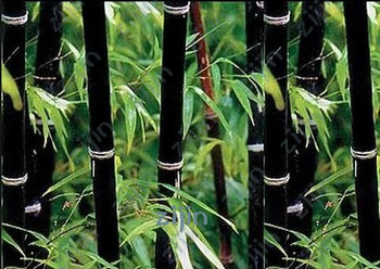 50pcs Huge Giant Phyllostachys pubescens moso black bamboo bonsais hardy -Giant plants