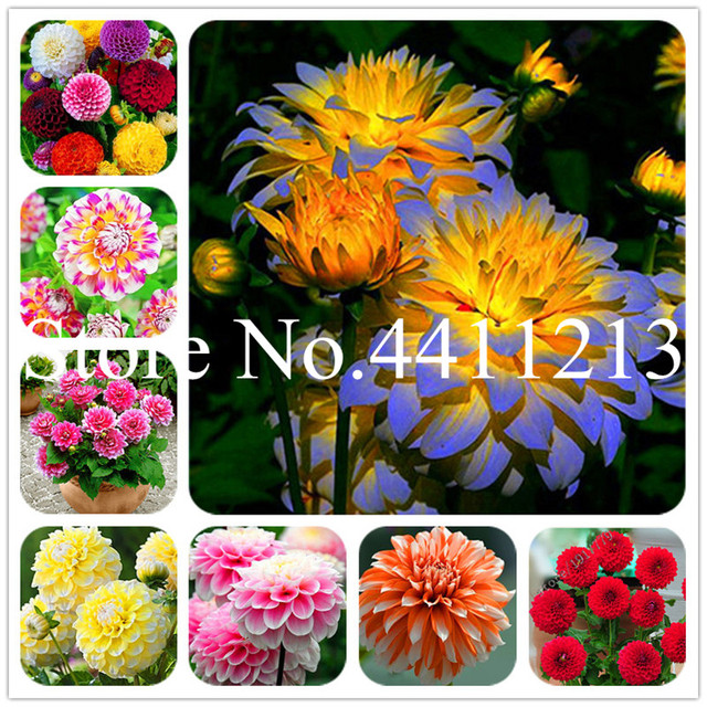 100 pz Multi-color dahlia dahlia Bonsai, dalia fiore planta, outdoor Albero di C