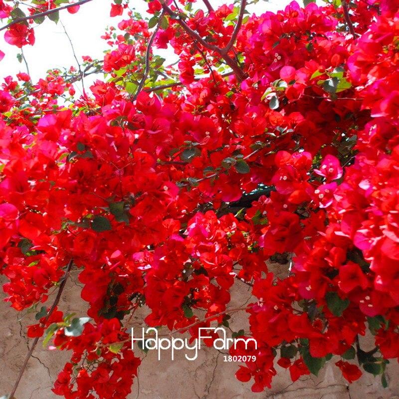 Loss Promotion!100 Plante/bag Red Bougainvillea Spectabilis Flores Perennial Bonsai Garden Plant Bougainvillea Flower Plantas,#I