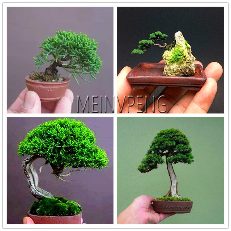 Big Sale!Miniature Pine Bonsai, Bonsai Tree Plant, Indoor Woody Plants, Pine Tree Perennial Plant For Miniature Garden,50flores