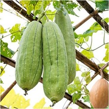10pcs Rare Tasty Loofah Delicious Organic Bonsai Outdoor Perennial Sponge Gourd Potted Vegetable Plant for Garden Decor(si gua)(China)