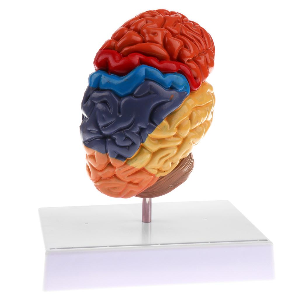 Cerebral Anatomical Model Anatomy 1:1 Half Brain Brainstem Medical Teaching Lab Supplies