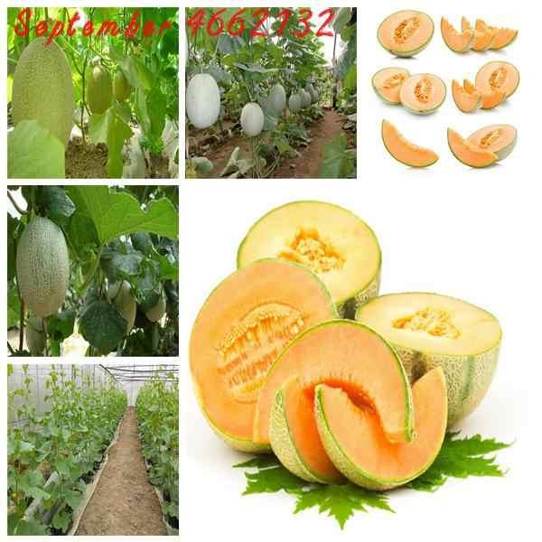 50 pçs fruitdelicious muskmelon bonsai planta japão frutas melão melão original superior mel orvalho verde carne frete grátis