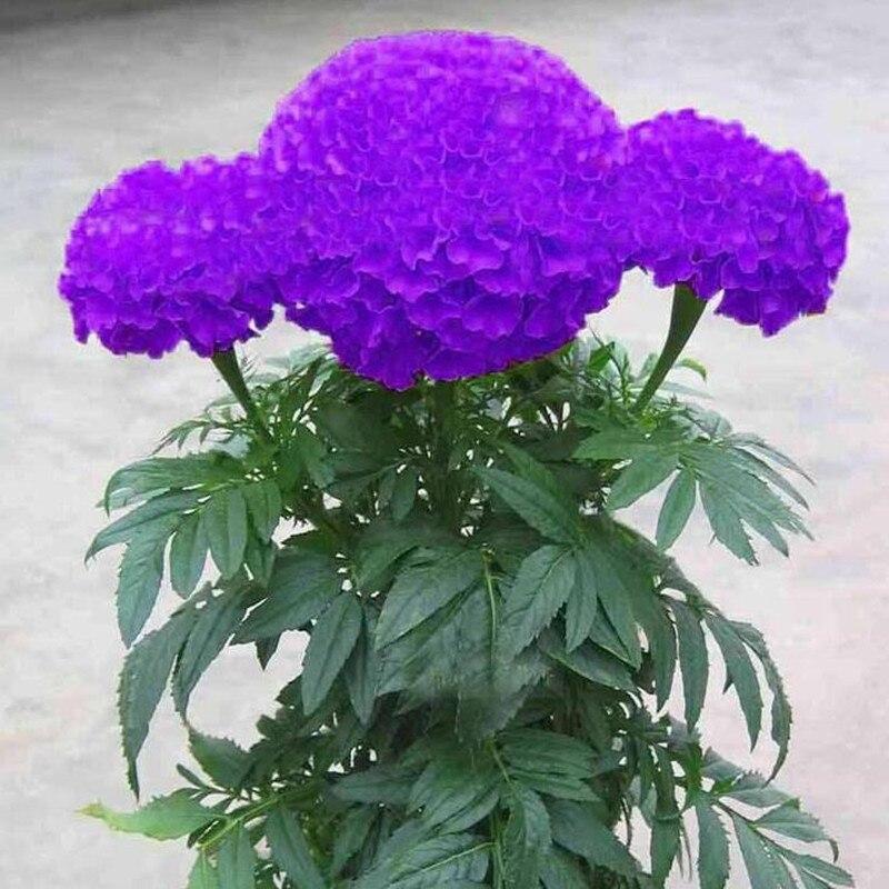 bonsais Hot Sale Rare Purple Maidenhair bonsais Flower Potted Herb Garden Marigold Chrysanthemum bonsais 20pcs(China)