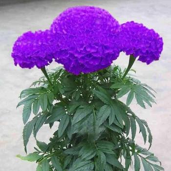 bonsais Hot Sale Rare Purple Maidenhair bonsais Flower Potted Herb Garden Marigold Chrysanthemum bonsais 20pcs