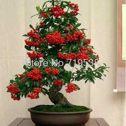 Balcony flowers indoor potted plants Pyracantha bonsai tree bonsais courtyard trees 100pcs/Pack