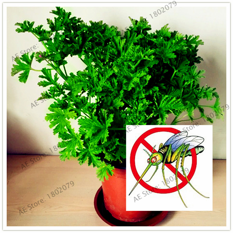 100pcs/bag Mosquito Repelling Grass flores, exotic plant indoor pot bonsai herb plantas for Home & Garden