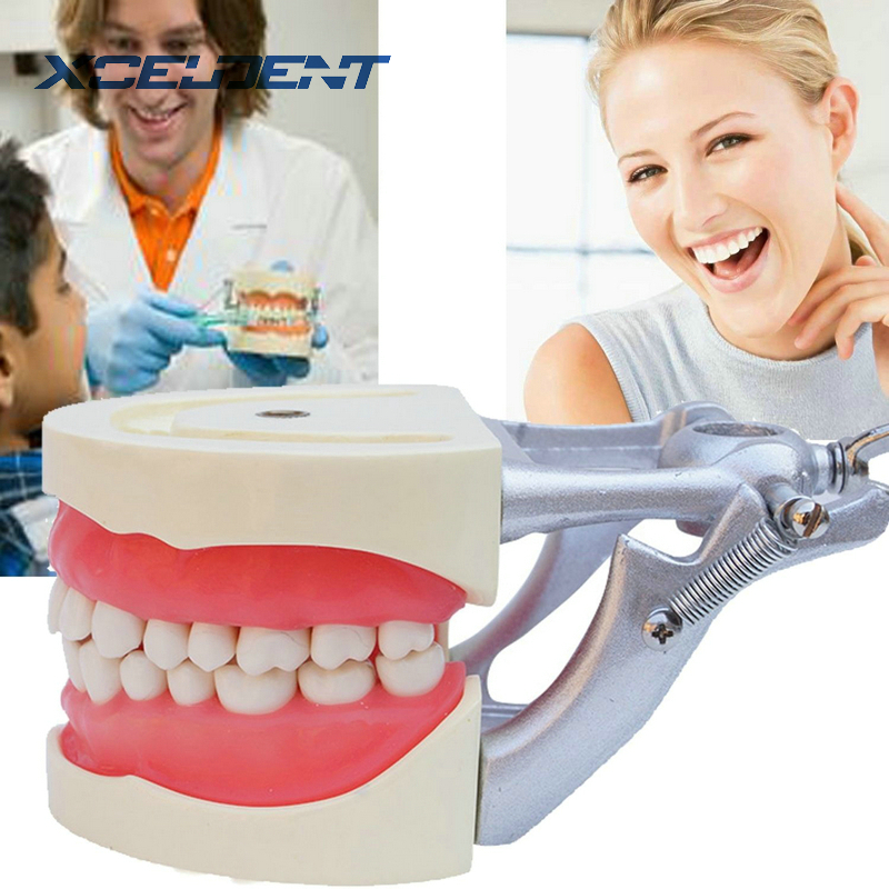 Teeth Model Dental Universal Plate Removable Tooth Model with DP Articulator for Dentists Traning Dental Students