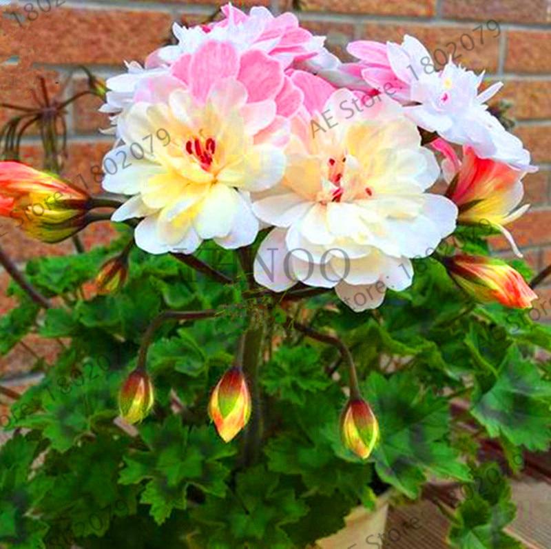 Lowest Price!100pcs/lot Rare Geranium ,Pelargonium, Zonal Geranium Perennial Flower flores bonsai Plant Home & Garden DIY Plants(China)