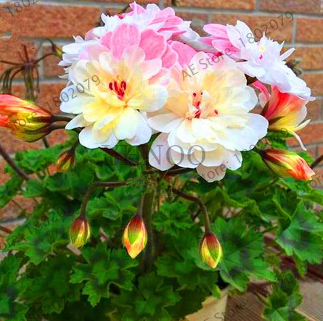 ¡Precio más bajo! 100 unids/lote raro geranio, Pelargonium, geranio Zonal flor perenne flores bonsái plantas hogar y jardín DIY