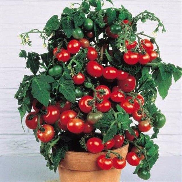 Bonsái de tomate rojo fresco 200 piezas plantas de bonsais de vegetales saludables para jardín doméstico