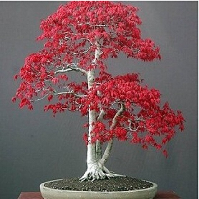 Potted Plant Bonsai 20pcs American Acer Palmatum Red Maple Tree
