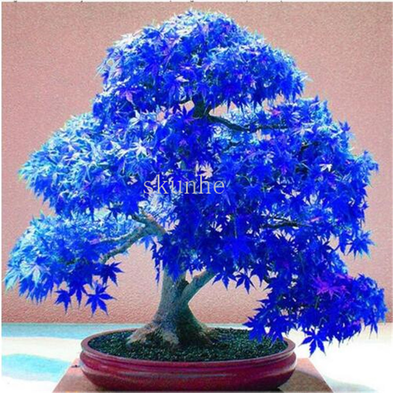 Real Japanese Ghost Blue Maple Bonsais Rare Balcony Bonsai Tree Plants For Home Garden 20pcs Free Shipping