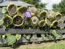 20 pcs sunflower seeds giant  rare flower for home garden planting seed birds