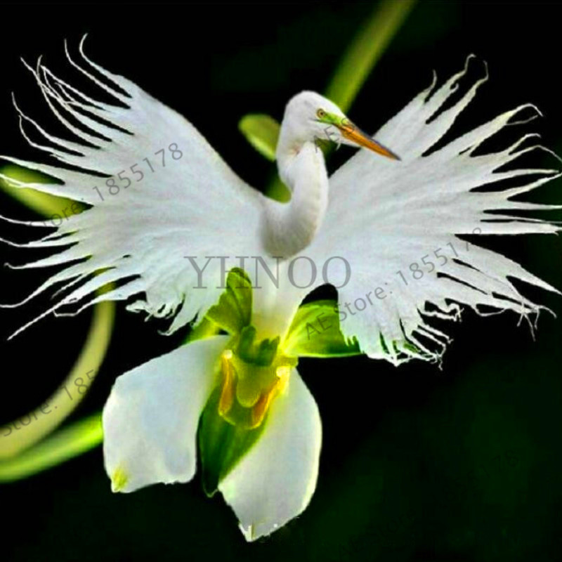 Supply Big Sale!100 Pcs/pack Japanese Radiata Bonsai White Egret Orchid Garden World's Rare Orchid Species White Baison Flowers Orc Online Shop Home & Garden