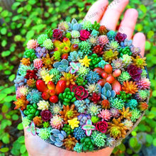 Time-Limit!!100 Pcs Amazing Sempervivum Plants Mixed Mini Garden Succulents Cactus Bonsai Perennial House Leeks Live Forever Ea(China)