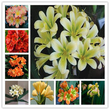 100 Pcs Hot Sale Clivia Miniata Bonsai Gorgeous Bonsai Rare Bush lily Flower Plant DIY Home Garden With Ornamental Value(China)