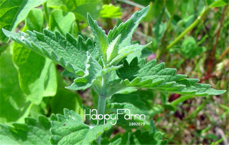 100 шт./лот новый свежий Nepeta cataria, Catnip, бонсай растения дома Садоводство цветочные горшки балкон цветок Plantas