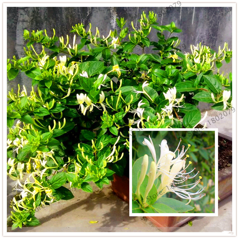 Honeysuckle Bonsai Jinyinhua Flores Chinese Herbal Medicine Planting Plantas Home Garden Plants Lonicera Japonica 104 Pcs Bonsai