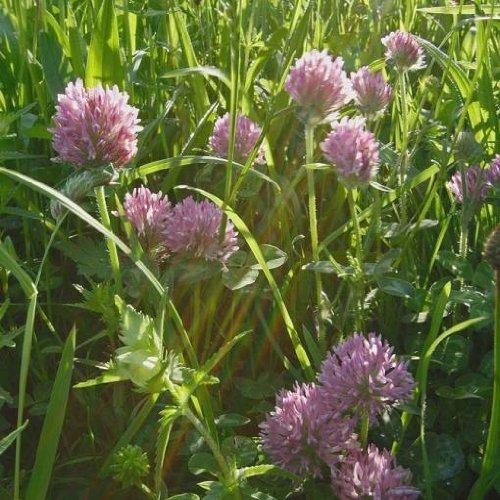 200Pcs Clover Seeds Lucky Trifolium Alpestre White Rare plants in Home Garden