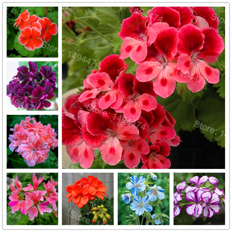 200pcs/bag Rare Geraniums Garden Mixed Color Bonsai Flower Plant Appleblossom Rosebud Pelargonium Perennial Flower Flores