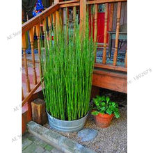 Best-Selling!60PCS Fresh Moso Bamboo Plants Sprout 99% Bambu Bambusa Lako Tree Plantas DIY Home Garden Decoration Bonsai Housep(China)